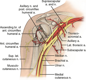 nerve-and-arterial-anatomy-at-prox-humerus